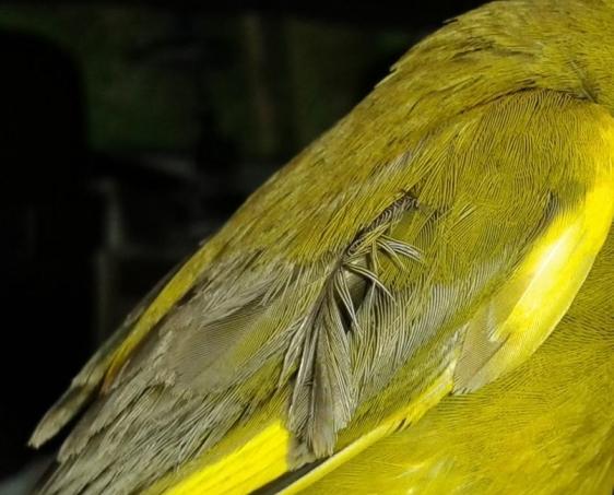 Grünfink 2