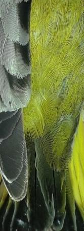 Grünfink 3