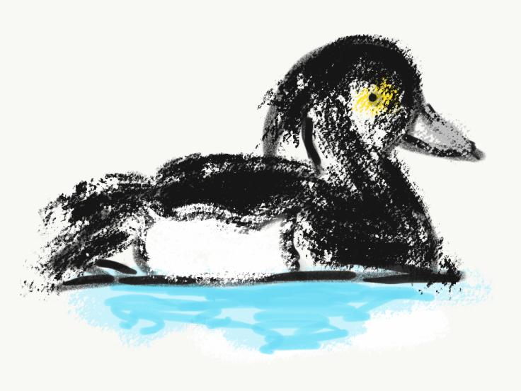 Reiherente Haseseevögel