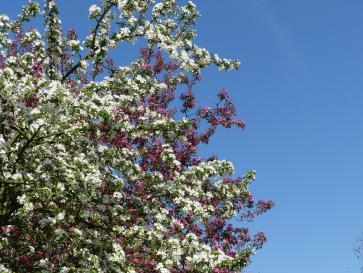 Frühlingsblueten 1